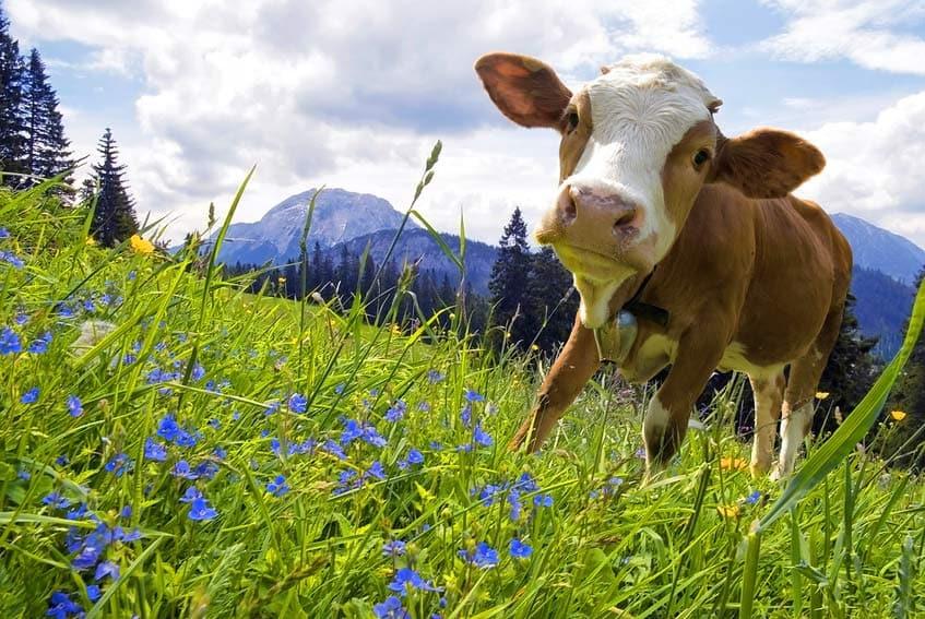 Kühe leiden unter Elektrosmog