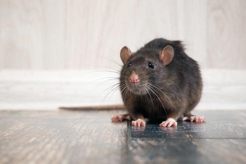 Ratte bei Elektrosmog-Studie im Labor
