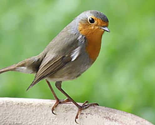 Elektrosmog beeinflusst Zugvögel